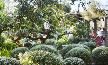 Clipped shrubs below a Stringybark in Shaw's home garden.