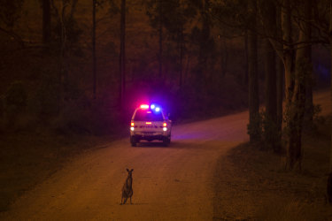 A kangaroo stops on the road after escaping from the Liberation Trail fire outside Nana Glen.