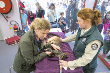 Children watch as veterinarian Dr Arianne Lowe listens to the heartbeat of a brush-tailed rock-wallaby as wildlife officer Hannah Waterhouse  looks on.