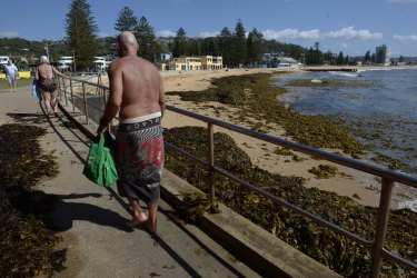Collaroy Beach was forced to close due to a build up of kelp.