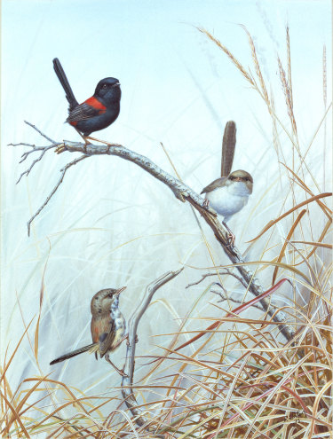Red backed fairy wrens, by Richard Weatherly.