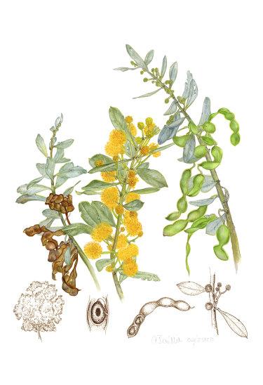 <i>Acacia argyrophylla</i>, painted by Audrey Baillie for <i>The Acacia Project</i>.
