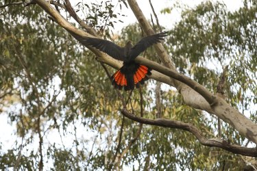 A red-tailed black cockatoo displays its plumage as it wings its way through a region near Dalmeny that is slated to become a housing development.