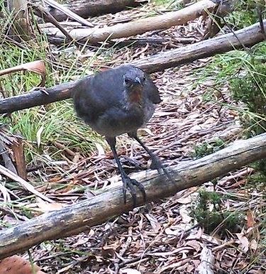 An inquisitive lyrebird triggers Dave Reid's trail camera near Corin Forest.