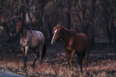 Feral horses in a section of the Kosciuszko National Park. Tracking feral animal numbers will be one of the measures to gauge how well the major conservation area is faring.