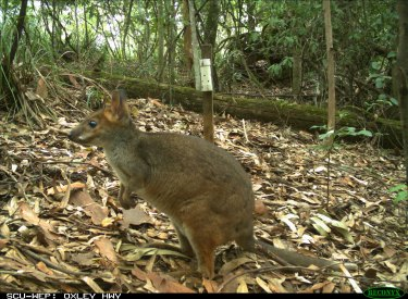 A red-legged pademelon activates a remote camera, one of 90 used by the researchers.