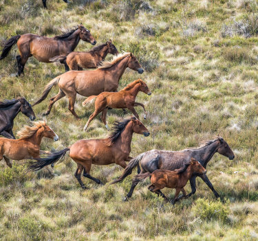 Many of the brumbies are in poor health and show signs of inbreeding.