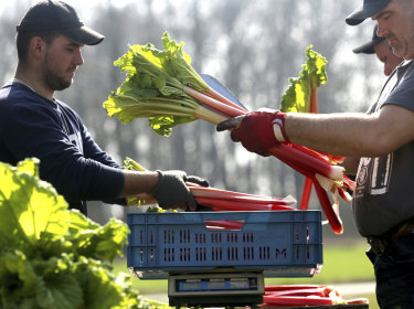 Rhubarb stalks are packed into sales baskets and weighed by harvest workers of vegetable farmer Herbert Wilms after the leaves have been cut off in Kaarst, Germany,.