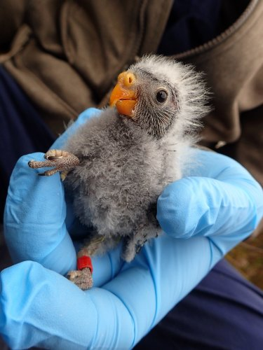 A newly banded orange-bellied parrot nestling.