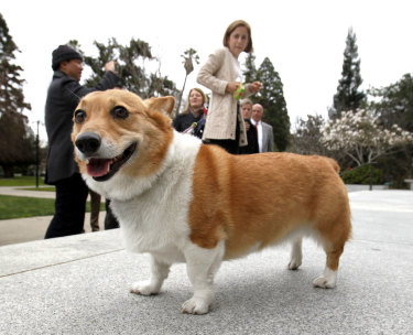 You don't often see corgis these days as pets.