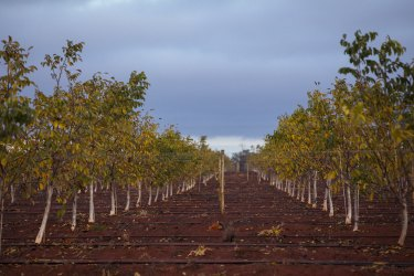 Walnut groves at the Avondale West farm owned by Stahmann Webster that abut the renamed Barren Box Storage.