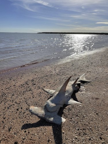The carcass of a hammerhead was among the sharks found at Roebuck Bay near Broome on Sunday.
