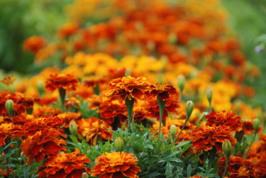 Marigolds being grown for their seeds.