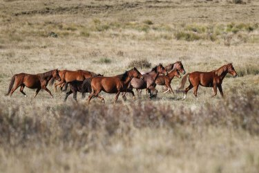 Feral horses cross Long Plain in Kosciuszko National Park. Removal of the animals is falling far short of the numbers necessary to keep the population from growing.