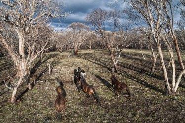 Feral horses on Long Plain in the Kosciuszko National Park.