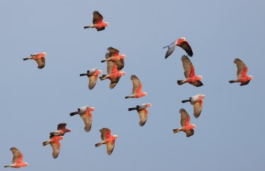 A flock of galahs makes a colourful display.