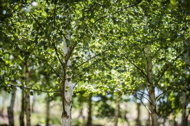 Silver birch trees.