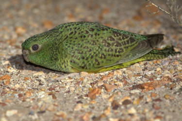 A photograph of the elusive night parrot, located in a remote region of Western Australia.