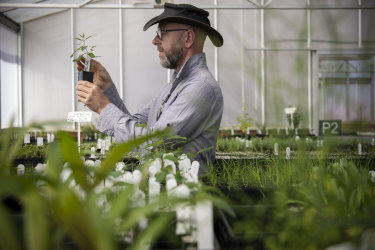 Ecologist Steve Douglas with one of the  seedlings bred for replanting in the wild at the Australian Botanic Garden at Mount Annan.