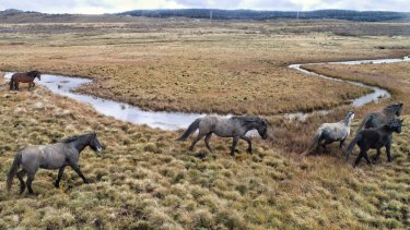 Feral horses damaging the waterways along the Eucumbene River north of Kiandra. This photo was taken in July 2020.