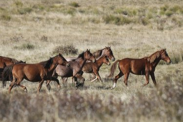Feral horses (also known as brumbies or wild horses) seen at Long Plain, NSW.