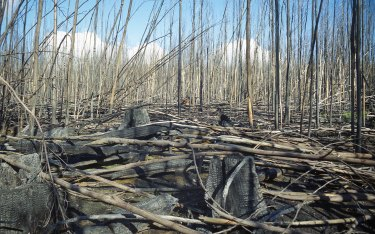 Burned logging regrowth in Victoria's Central Highlands.