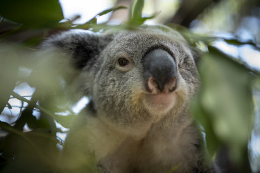Koala populations are vulnerable from a  range of threats, prompting the government to declare the species deserving additional protection including at 15 sites with national parks.