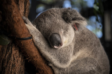 Genetic material will be used to map the key traits of the vulnerable marsupial.