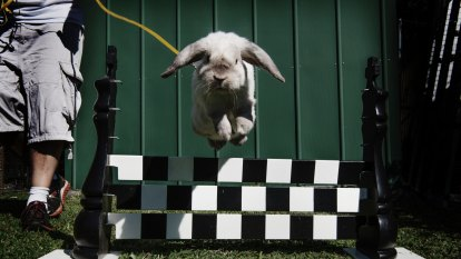 Bunnies make a leap of faith on way to the finish