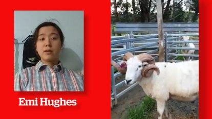 Sheep judging goes virtual
