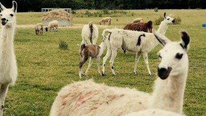 How Berkshire Llama Fifi is helping fight COVID-19