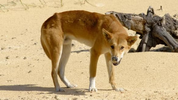 Fly-in, fly-out mine worker mauled by dingoes in Western Australia