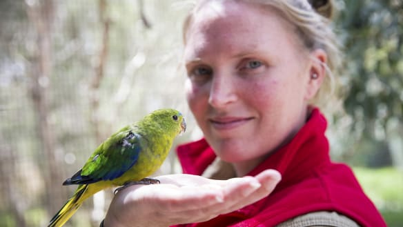 Why orange-bellied parrots are being flown by helicopter