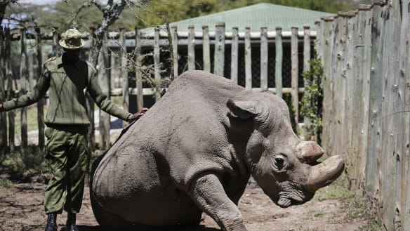The last male northern white rhinoceros has died