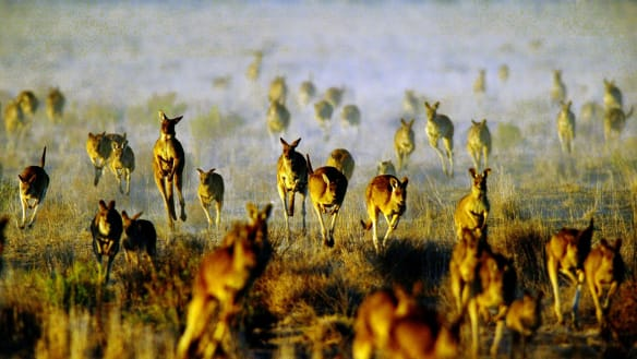 Kangaroo cull to increase with restriction on harvesting licences axed