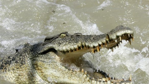 Wild crocodile egg harvesting to be allowed under a government plan