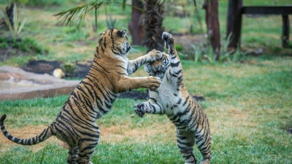 Melati and Mya move into the National zoo