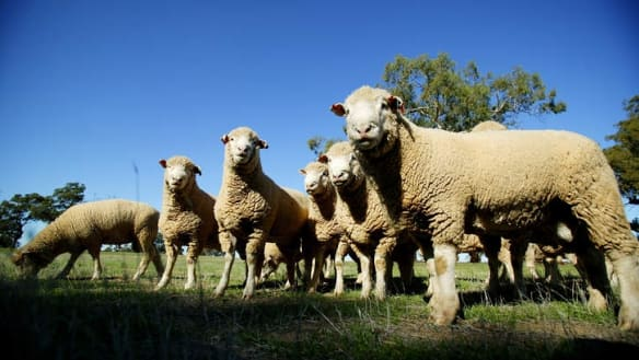 'Don't be cross at the government': deputy PM rejects call for compensation over sheep exports