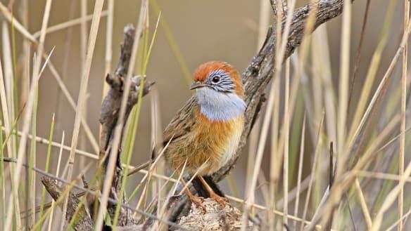 Saving Australia's angriest bird from itself