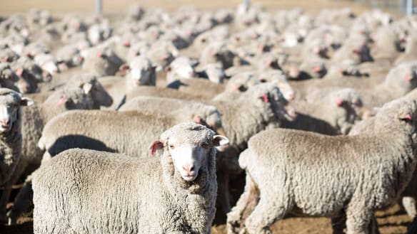 'It's wonderful times': wool farmers cheer record prices