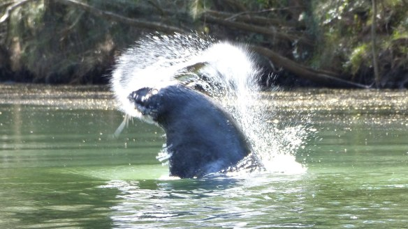 Tim the Yowie Man: Seal spotted in Tuross River