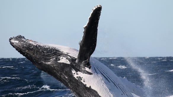 'Truly amazing': Researchers find a novel way to capture humpback whales' mucus