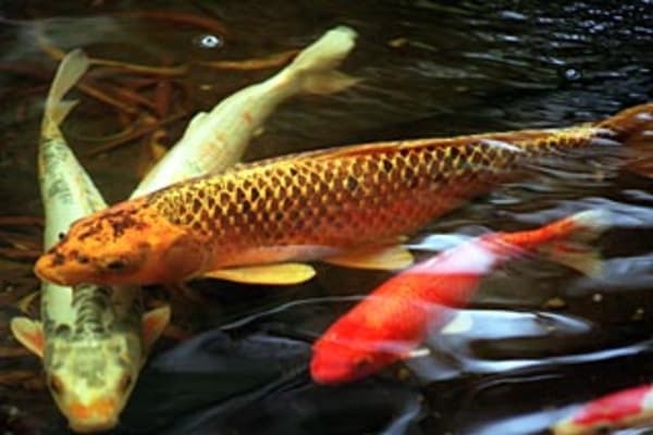 Cashing in on koi for Koi farm melbourne
