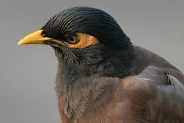 Pushy myna birds a major nest pest - photo#42