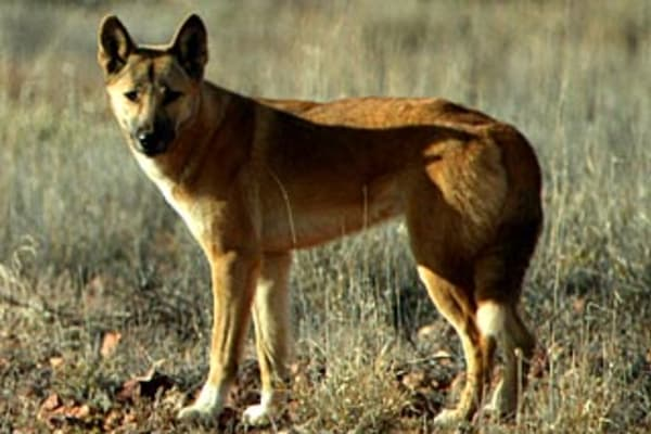 Dog Gone Scientists Confirm The Dingo Is A Unique Species