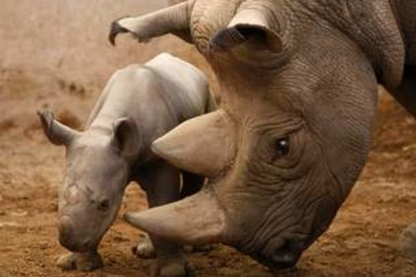 argumentative essay on rhino poaching Explore chantal buslot's board quotes : poaching (elephants, rhino) on pinterest | see more ideas about animal rights, animal cruelty and animal rescue.