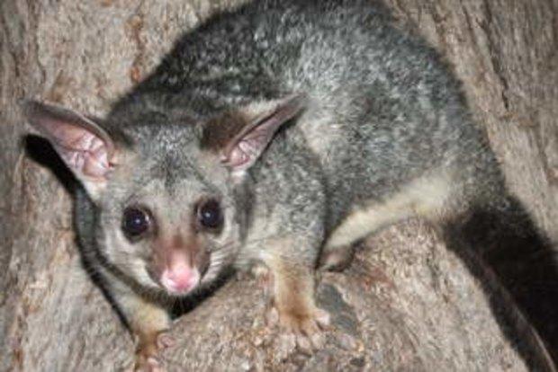 Devour and conquer: Victoria's possum war