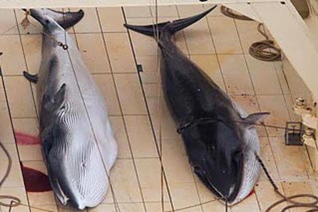 Japan's whaling fleet on the run