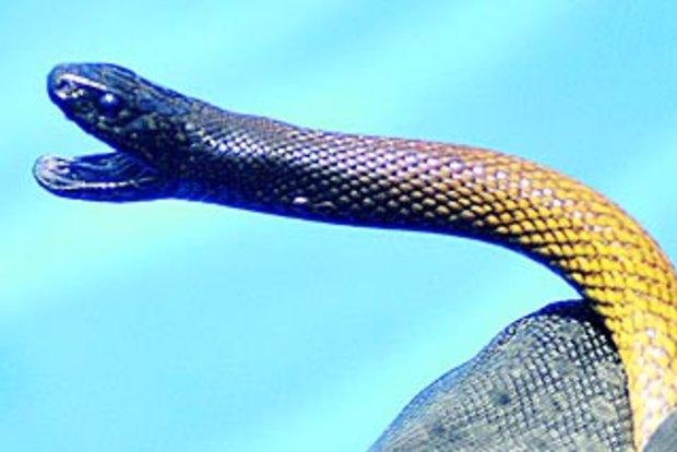 Mystery Over Boy Bitten By World's Most Venomous Snake