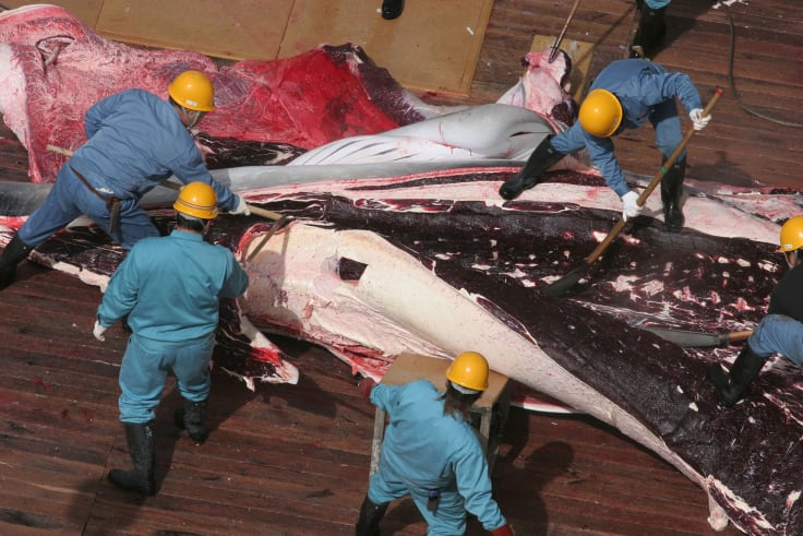 """Japan claims its annual whale hunt is required for """"research"""" purposes."""